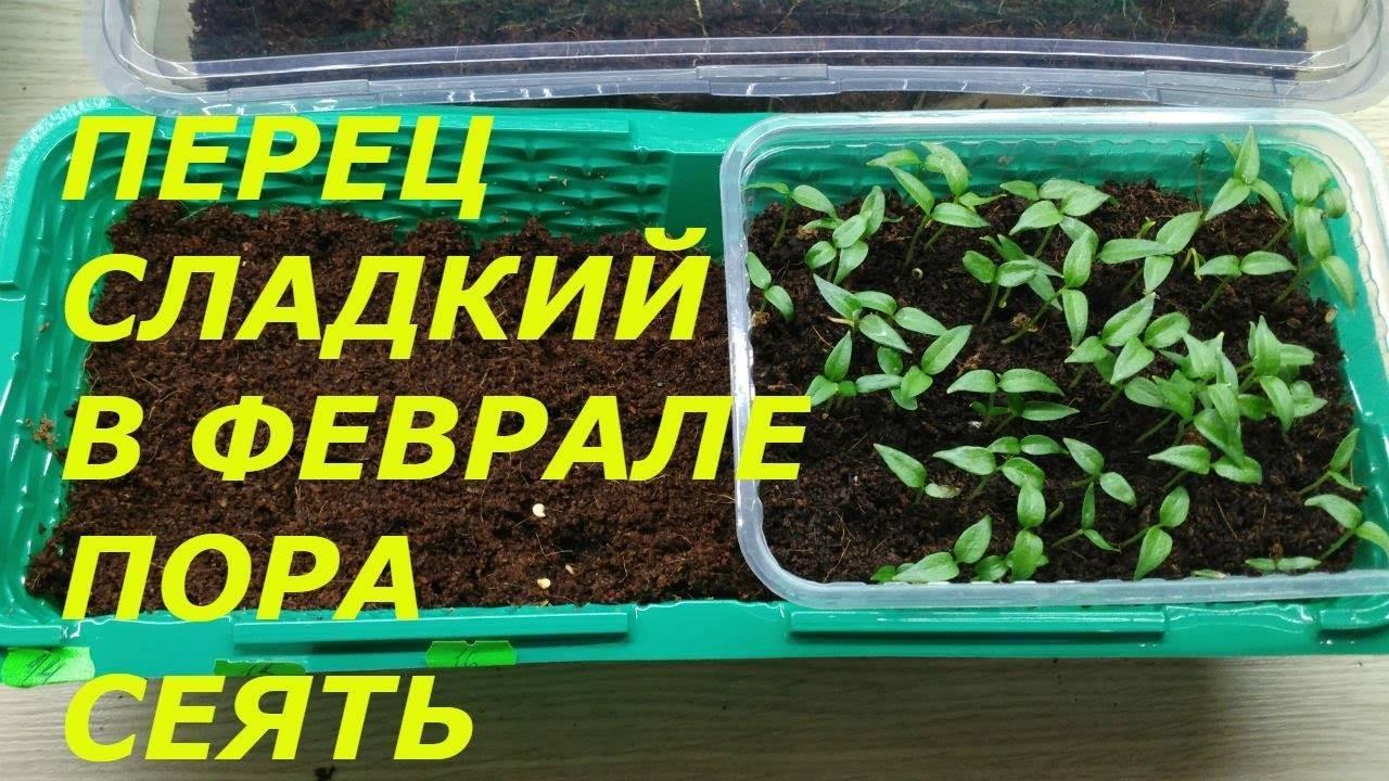 Посадка семян перца с кипятком — selok.info