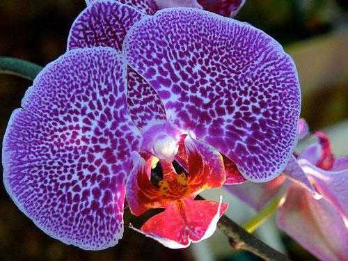 У орхидеи фаленопсис вянут листья - что делать в данной ситуации