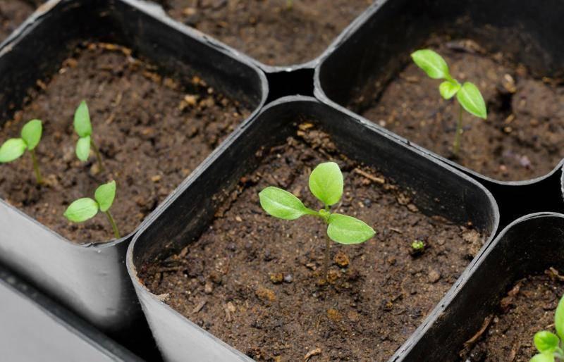 Сажаем баклажаны рассадой: благоприятные дни по луне на 2021 год – выбираем лучшие дни для посева семян баклажан по фазам луны