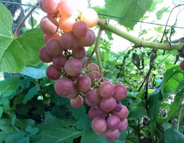 Сорта винограда выращиваемые в беларуси
