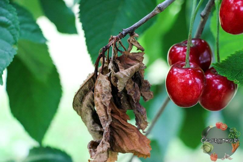 Болезни черешни. способы лечения деревьев.