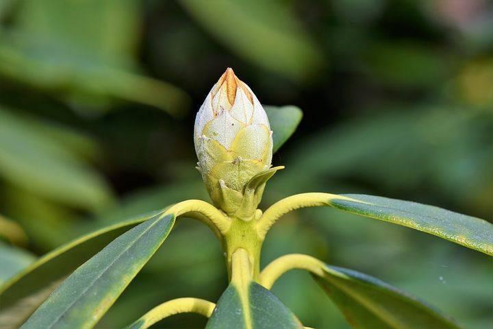 Рододендрон в саду: особенности размножения с помощью черенков