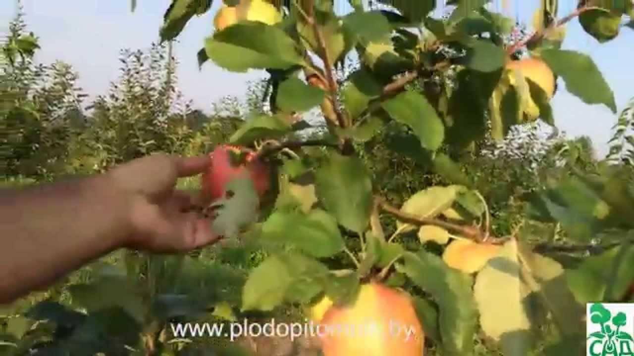 Яблоня мечта - описание сорта с фото, посадка и уход, отзывы