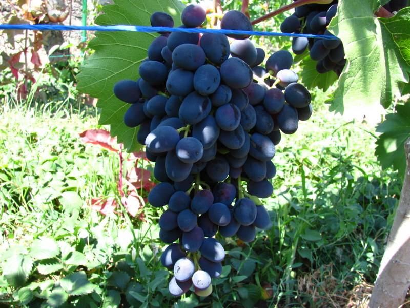 Виноград «чарли» характеристика сорта, описание особенностей и выращивания с фото