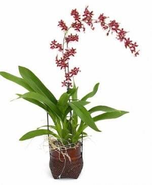 Орхидея онцидиум: уход в домашних условиях, пересадка, советы, видео
