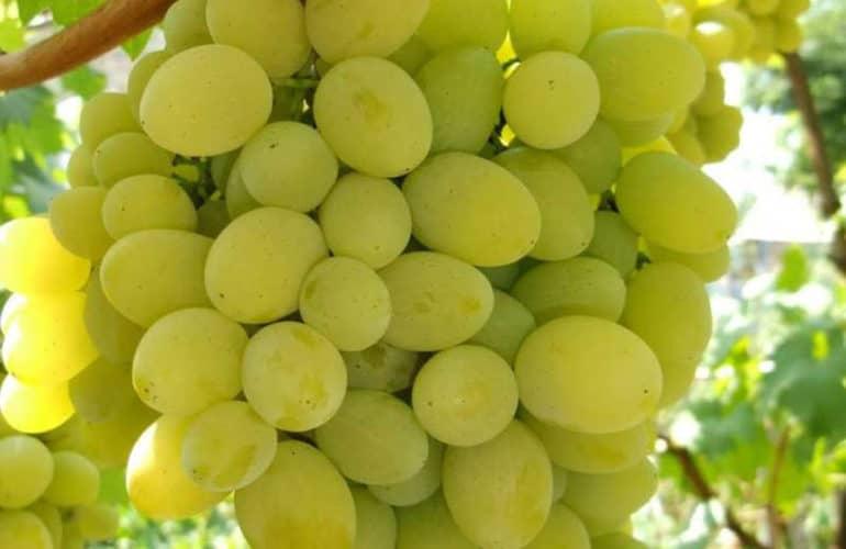 Виноград белое чудо: описание сорта