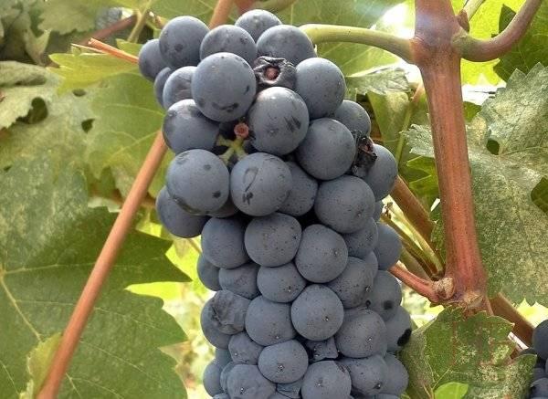 Виноград руслан: описание сорта с характеристикой и отзывами, особенности посадки и выращивания