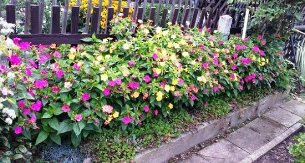 Цветок мирабилис: посадка и уход, фото и видео, сорта и виды