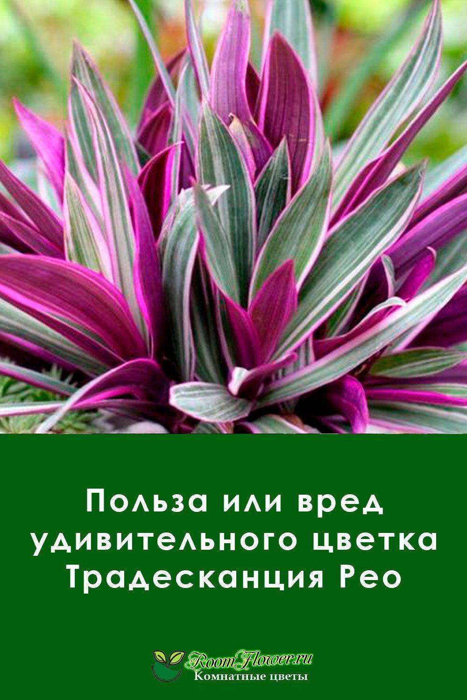 Правила посадки и ухода за комнатным цветком рео в домашних условиях: сорта, размножение