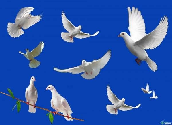 Показания к применению лекарства родотиум для голубей