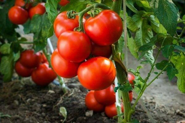 Характеристика и описание сорта томата таня – дачные дела