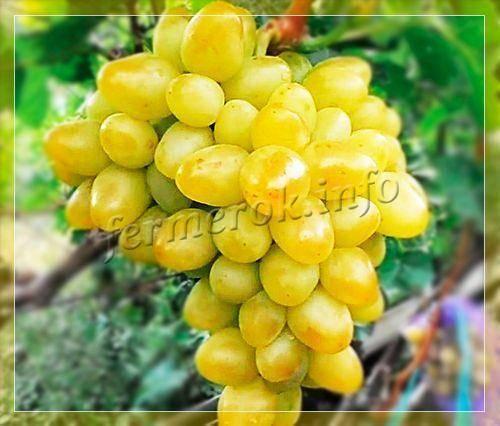 Виноград аркадия: описание сорта, отзывы, фото, уход