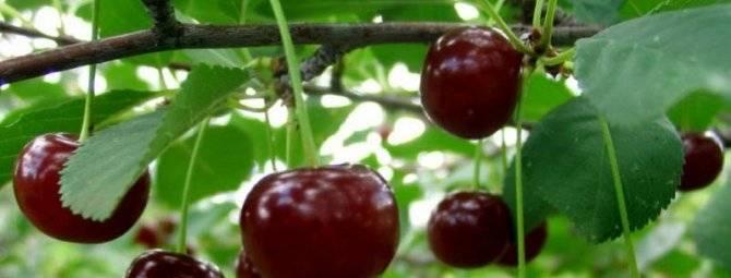 Чудо-вишня (дюк): описание сорта, фото, отзывы