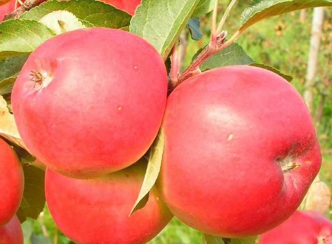 Осенние сорта яблок для выращивания в беларуси