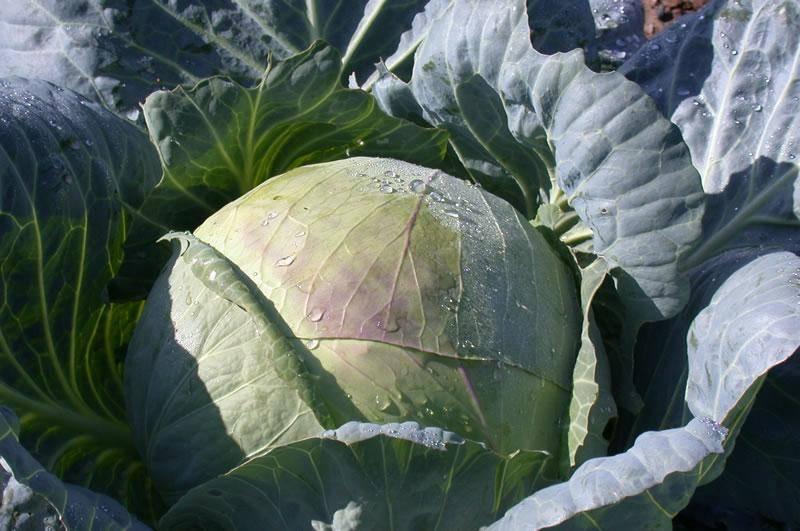 Выращивание капусты сорта подарок | садоводство и огородничество