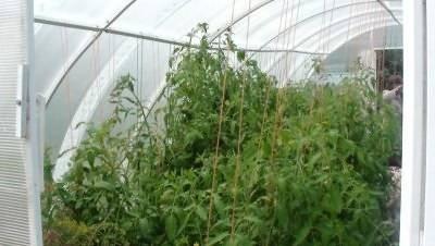 Уход за помидорами в теплице из поликарбоната на даче