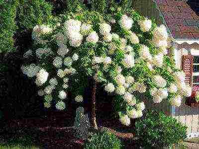 Гортензия левана  (levana) метельчатая — описание
