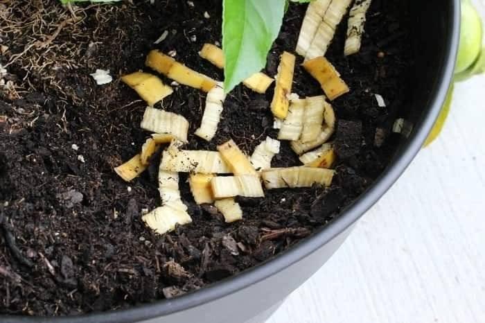 Удобрение из банановой кожуры: как сделать подкормку для огорода из шкурки банана? для каких растений можно использовать корки в качестве удобрения?