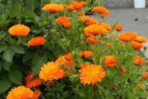 Календула — «солнечный врачеватель»: посадка и уход в открытом грунте