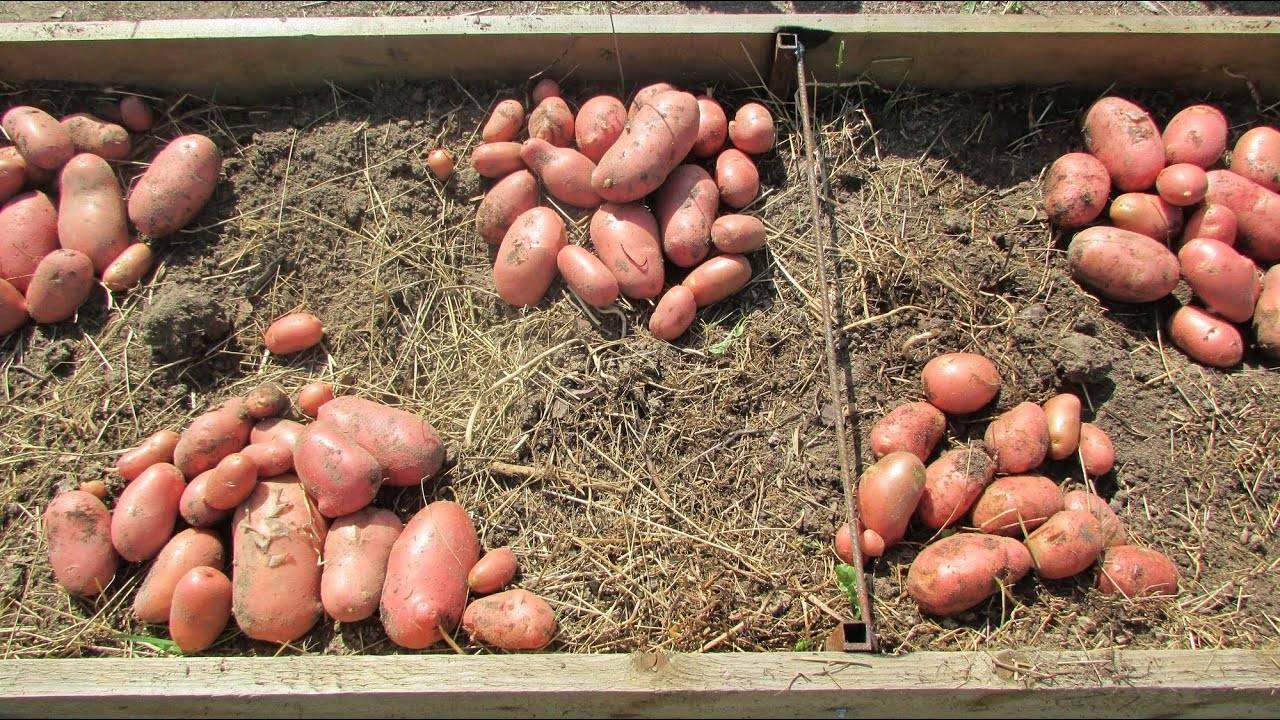 Картофель свитанок киевский: характеристика сорта и вкусовые качества клубня