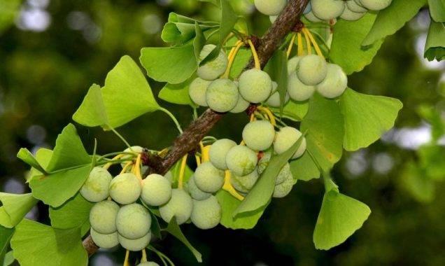 У кого есть опыт выращивания гинкго билоба из семян? поделитесь, плиз