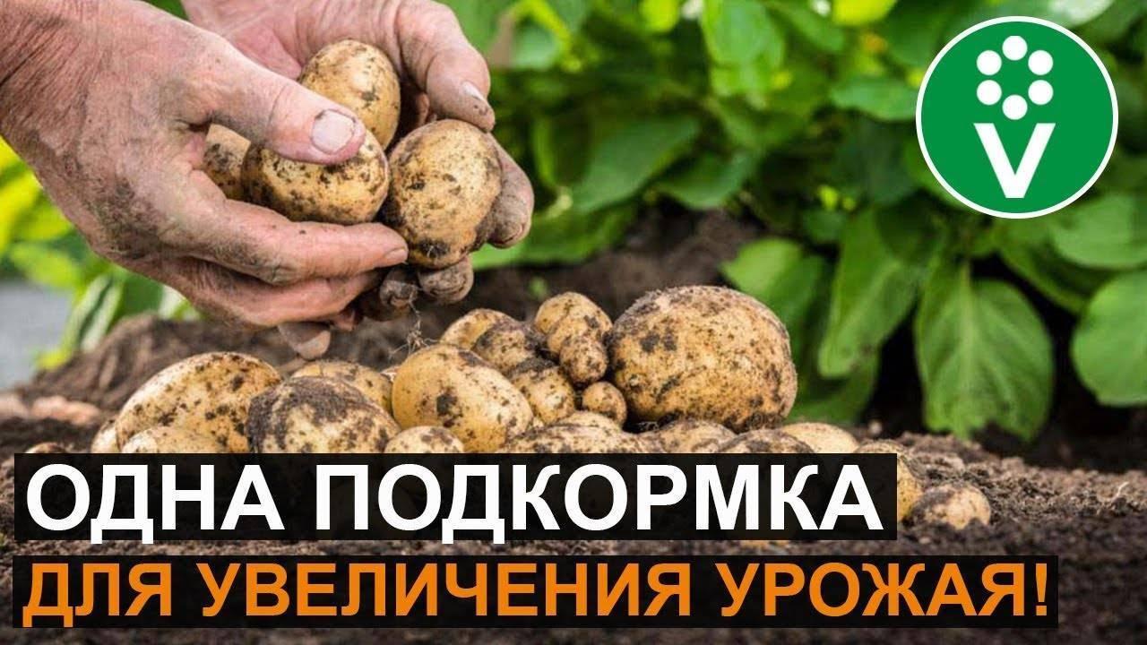 Особенности проведения внекорневой подкормки картофеля