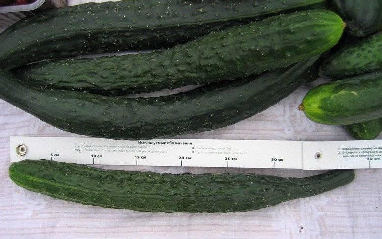 Огурец «изумрудный поток f1» — описание характеристик, посадка и уход, урожайность сорта и выращивание из семян (фото)