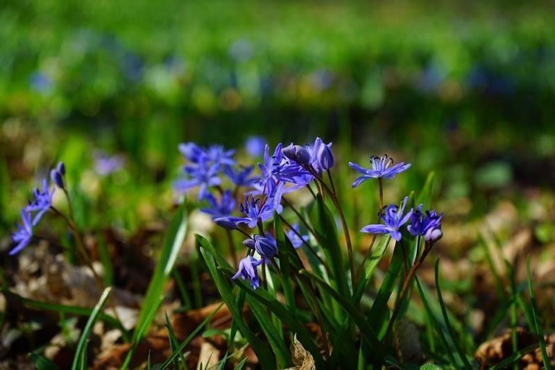 """Цветок """"сцилла"""": описание, фото, посадка и уход"""