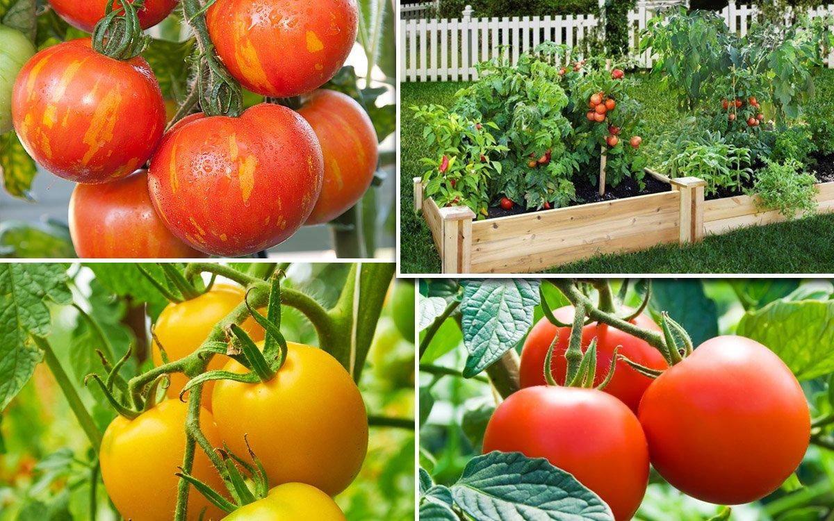 Томат непас 7 непасынкующийся гигантский: описание сорта, особенности выращивания, отзывы о помидоре