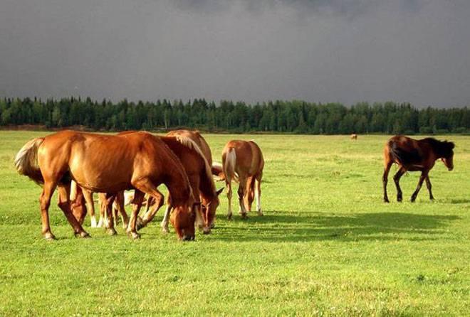Как вылечить мыт у лошадей