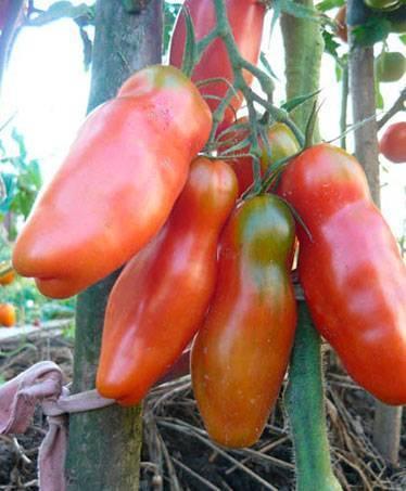 Томат казанова — сорт необычной формы, дающий по 3 кг плодов с куста