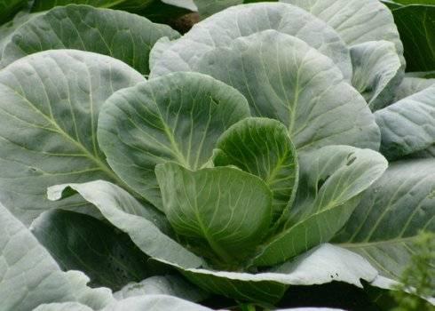 Один из самых популярных химикатов от вредителей капусты — интавир. инструкция по применению, меры предосторожности
