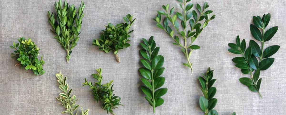 Вечнозеленые растения: фото и названия, обзор подходящих для сада культур