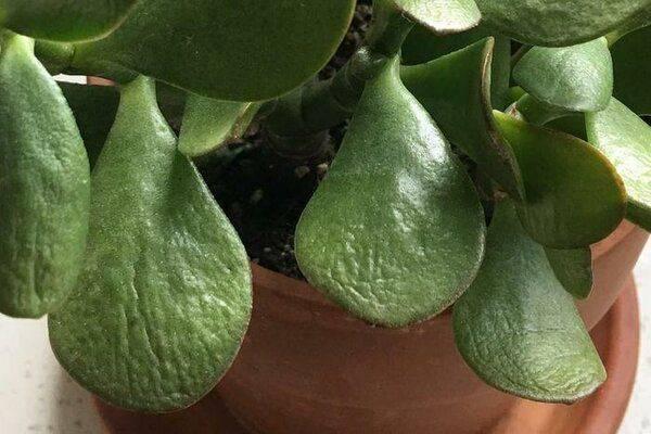 Сажаем замиокулькас в домашних условиях – посадка без корней и листьев