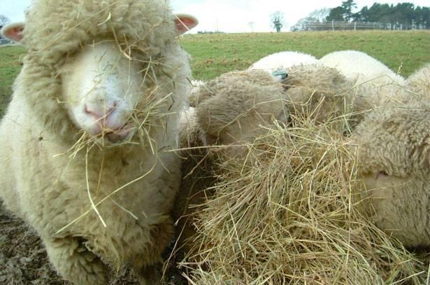 Что нужно знать о зимнем содержании и кормлении овец?