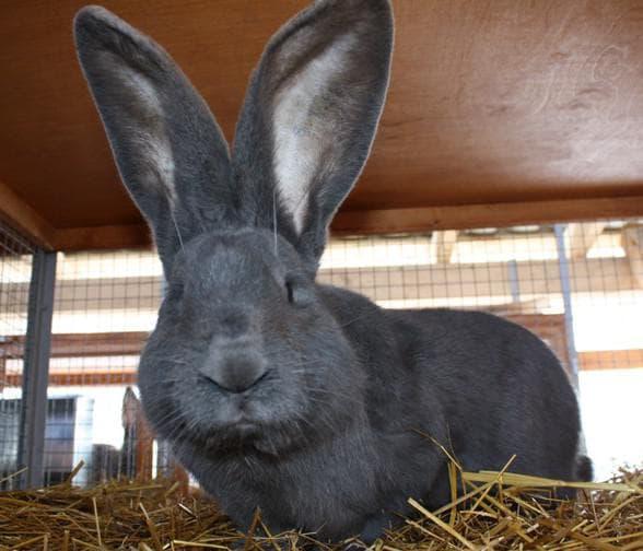 Кролики голден ризен: особенности разведения в домашних условиях