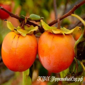 Выращивание растения хурма в домашних условиях: фото сортов и описание, размножение