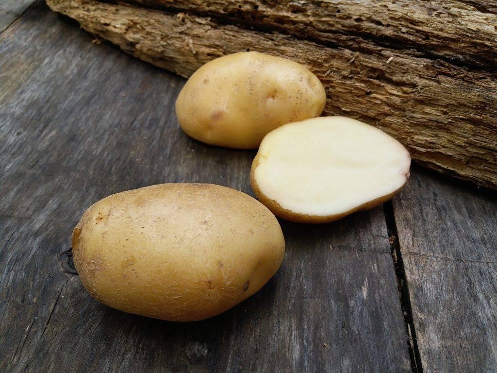 Сорт картофеля сказка: описание вида с фото, а также инструкция по выращиванию и сравнительные характеристики