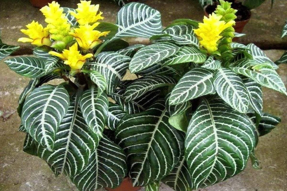 Афеландра: описание видов их особенности и правила по уходу за растением (135 фото)