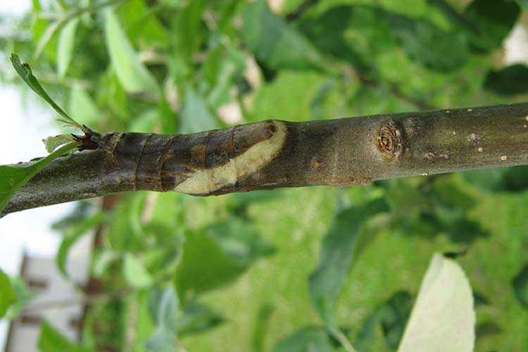 Как прививать плодовые деревья: технология и советы экспертов