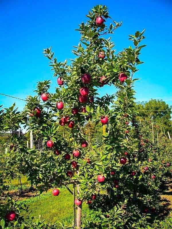 Яблоки ред чиф: описание сорта, фото, отзывы