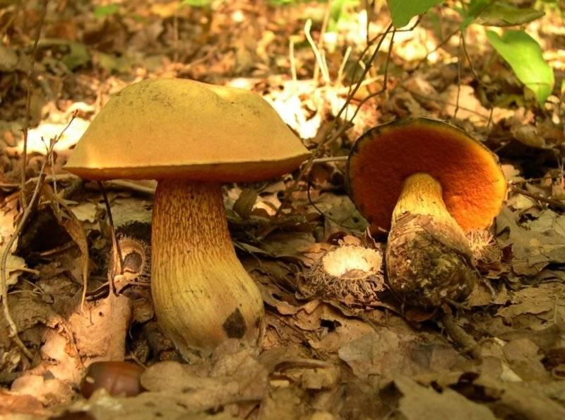 Дубовик крапчатый – гриб с полезными свойствами