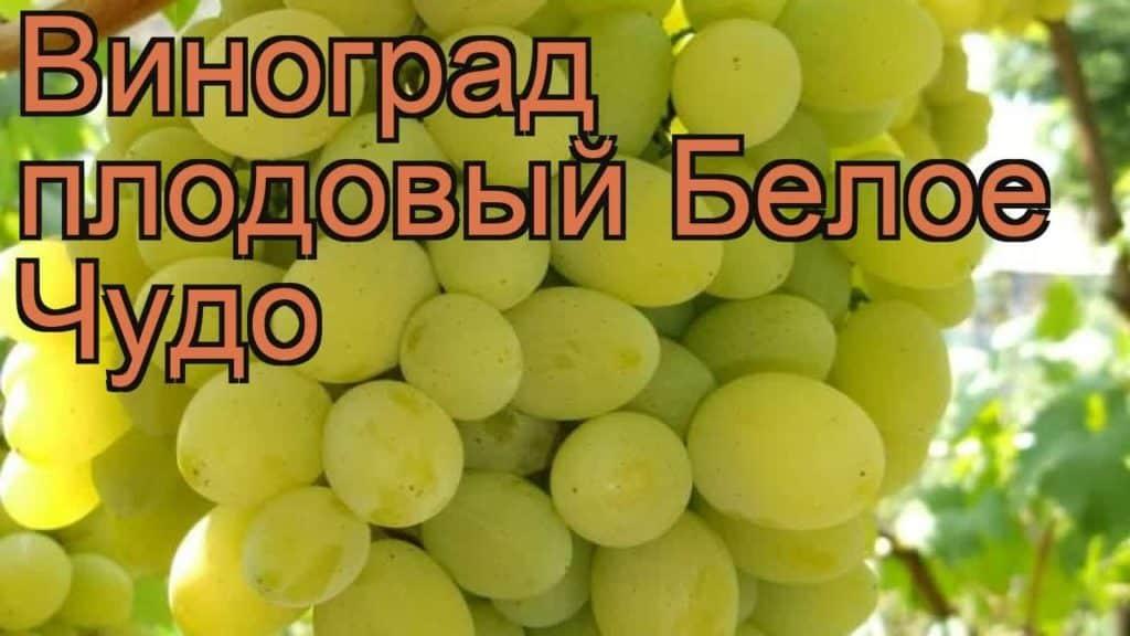 Виноград белое чудо: описание сорта, фото, отзывы