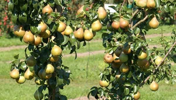 Колоновидные груши для подмосковья: лучшие сорта - сельская жизнь