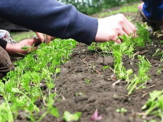 Морковь и керосин для прополки: можно ли провести обработку сорняков с помощью этой жидкости, как правильно развести для полива и опрыскать траву, в какой пропорции?