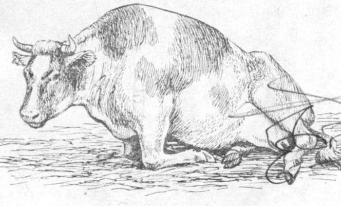 Стельность коровы по месяцам: как определить, календарь