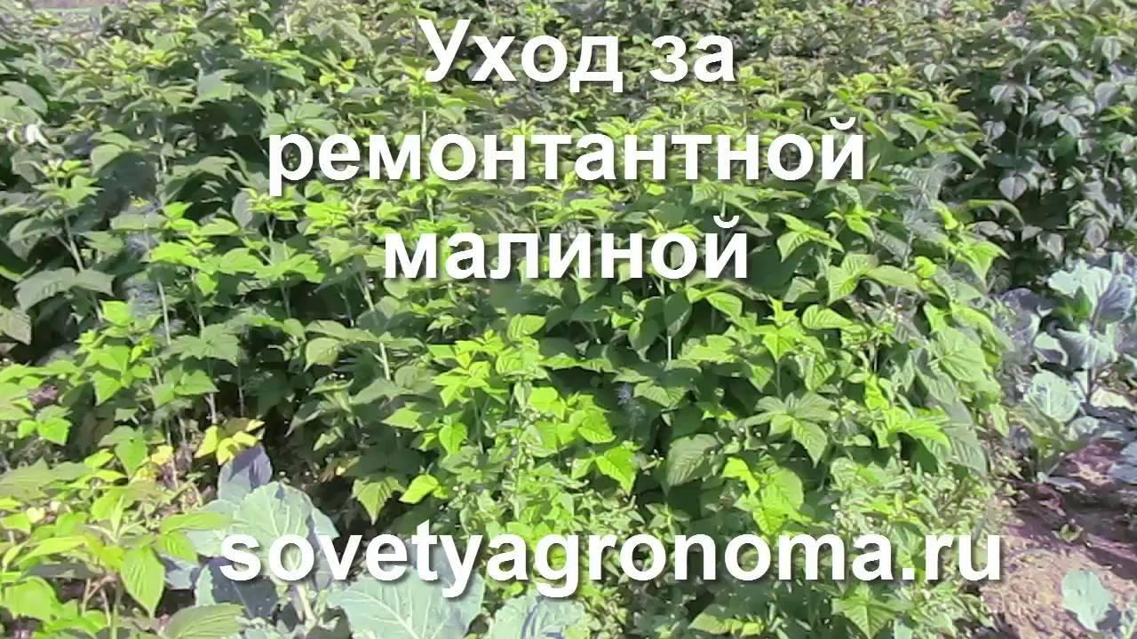 Посадка ремонтантной малины: сроки и способы как правильно посадить, особенности весной и осенью