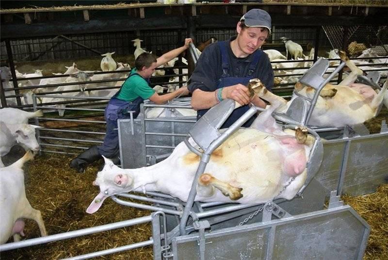 Как обрезать копыта козам
