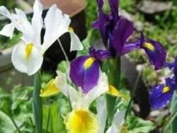 Ирис луковичный: выращивание и уход, особенности и правила посадки ирисов в открытом грунте, полезные советы