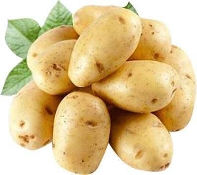 Картофель янка – описание сорта, фото, отзывы